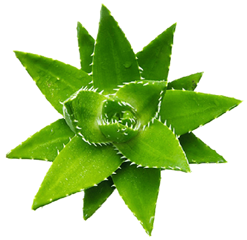 Πνευματική Φύση Αλόη Βέρα-aloehome-chrysa-ntziouni-aloe-vera-the-star-plant